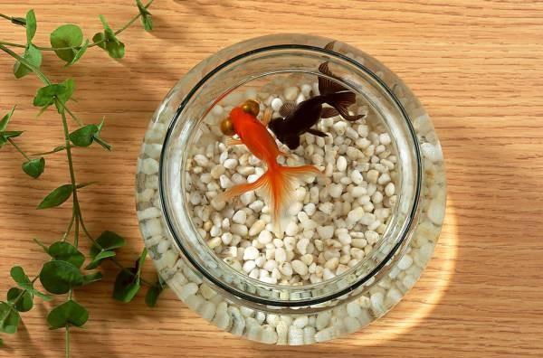 """化解""""天斩煞""""最简单的方法是在大厅中置放一个鱼缸,饲养数条黑金鱼,就能化去煞气。"""