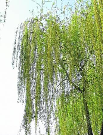 植物环境是居住环境最重要的组成部分之一,而柳树则属于凶木种类,绝对不能种植于私人的住宅,会产生不利影响,尤其是孩子将变得虚弱不堪。