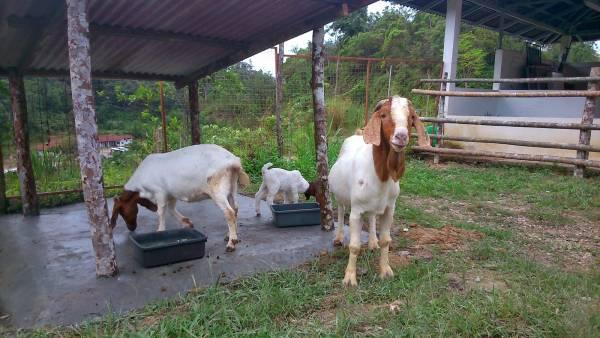 只要旅客拿起羊儿爱吃的食物,贪吃的小羊立即站起来讨吃!
