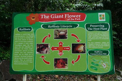 莱佛士花虽然是大王花,但它的寿命只有短短的一个星期,想要看它也得看运气了!