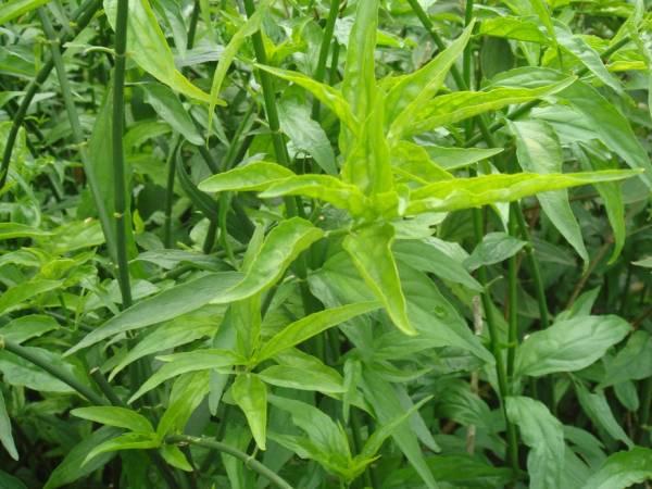 清炒优遁草,有效清热解毒。