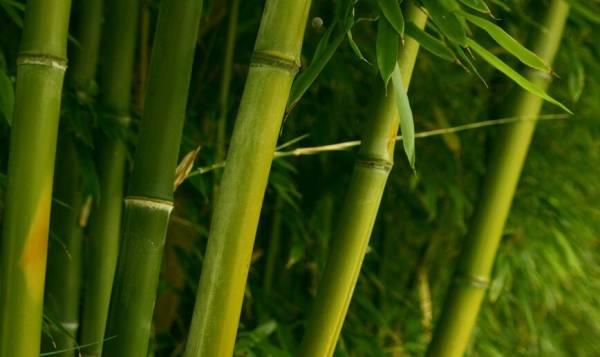 种植空心竹在家外,可以吸收臭气,有效地脱离味煞了。
