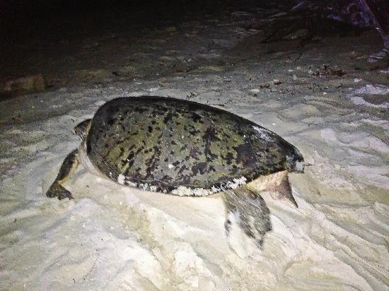 若遇上海龟生产期,旅客们还能目睹海龟下蛋。