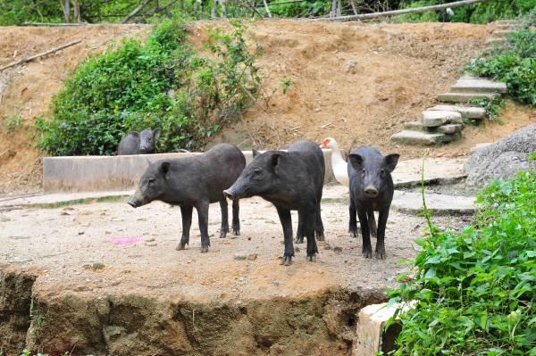 阿良说,以后要养更多动物,包括兔子、火鸡、食客来吃东西,可以观赏动物。