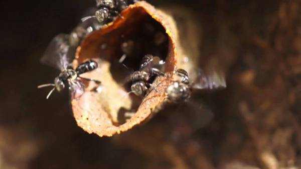 """银蜂是一种深色体型细小的野蜂,它的尾端没有螫人的毒针,所以又称为""""无针蜂""""。"""