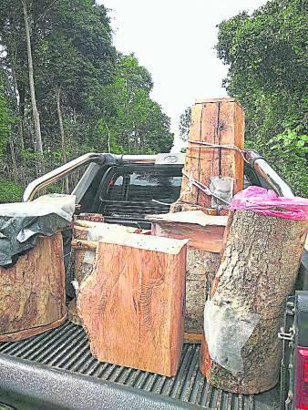 赖姜宇表示,他的银蜂树桐多数源自北马及南马森林,高矮胖瘦的树都有,每一个银蜂窝是独一无二的,而且确保蜂巢多蜜蜂的树桐才要货。