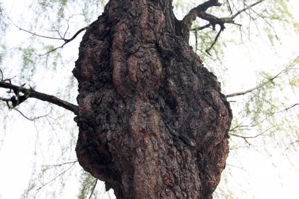 住宅忌栽种奇形怪状的植物,例如貌似臃肿的怪树,此类怪树易招鬼怪入侵家宅扰乱家庭成员健康。