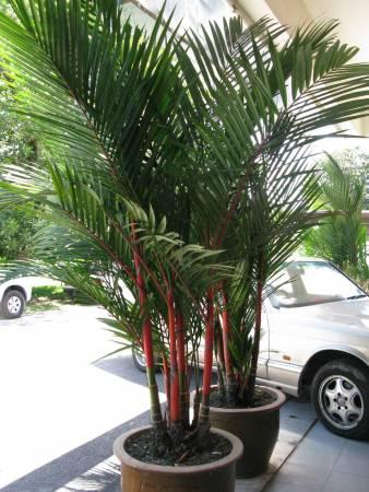 """要化解"""" 一剑穿心煞"""",可在屋前栽种红槟榔树、铁树等植物,阻挡晦气入侵。"""