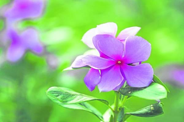 网络流传日吃10 片长春花叶就可抗癌、降血糖、降胆固醇。