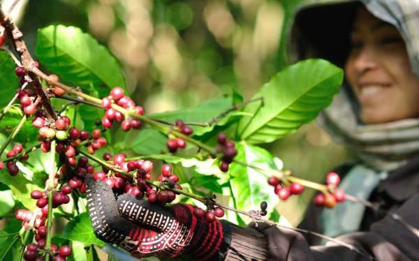 百霜高原的咖啡,被遗忘百年,如今吸引全球咖啡业者到来。