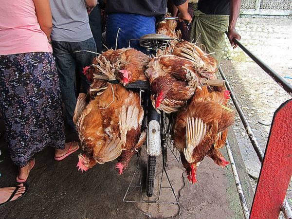 在偷鸡节这个特殊节日里,偷取别人家的鸡不但不是犯法,而是一种习俗。