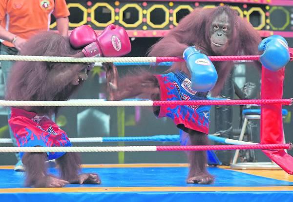 两只人猿被逼在擂台上进行拳击赛。据联合国指出,此活动导致人猿的非法交易剧增。