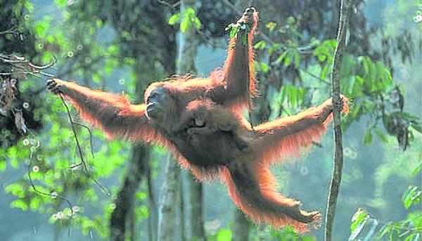 人猿脚部弯曲,不适合站立,长期在树上爬行。