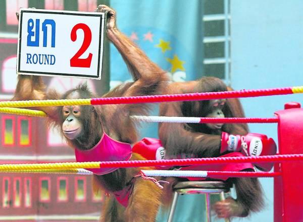 """模仿真人赛的人猿拳击,也一样有""""举牌女郎""""。"""