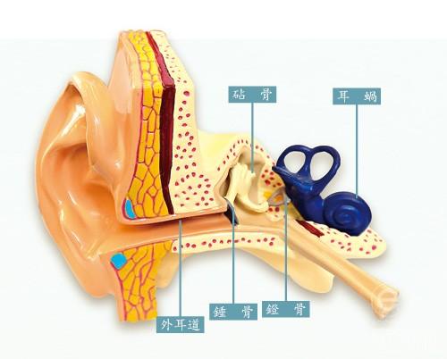 当声音从耳道传入,鼓膜振动后使三个听小骨振动,然后内耳的液体振动,令耳蜗的毛细胞产生电冲动,经听神经送到大脑分析,我们便听到声音。