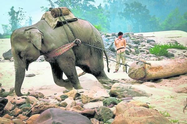 大象在前面拖呀拖,稍有怠慢,在旁的象夫就会用武器或道具鞭打它。