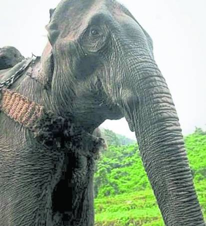 粗壮的大象,在山林里被折磨到瘦骨嶙峋,看了照片就觉得揪心。