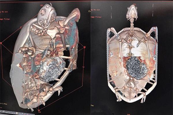 扫描图显示,绿蠵龟的胃部有一大团金属,随后证实是硬币。