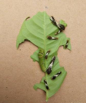 在结蛹前,毛毛虫的食量非常大。