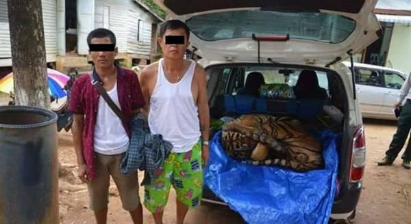运载重达125公斤的虎尸,被掏空内脏后毫无遮掩的大胆闯关。