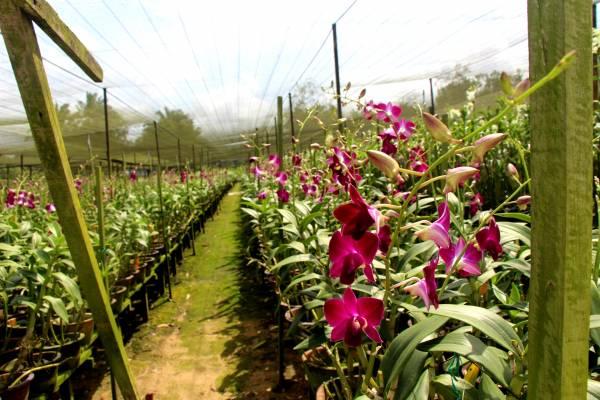 山前山后闻花香,万孚村共有数百英亩胡姬花园地。