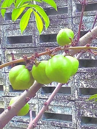 皇冠果是印尼人盛行应用的草药,据说具有降高血压之功效。