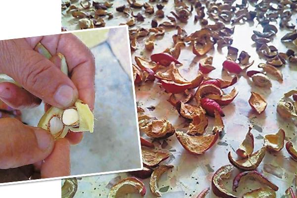 制作皇冠果茶前,要把种子去掉,然后把果实切成一片片,再进行风干。