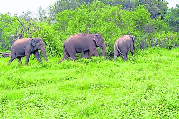 这片新家园孕育着超过200只濒临绝种的野生动物,包括亚洲象。