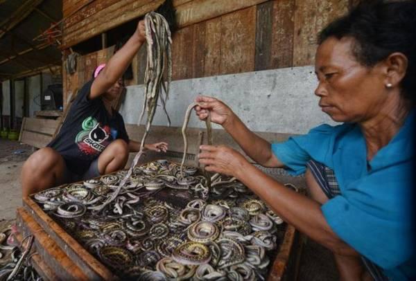 印尼屠宰场采用的原始屠蛇和剥皮方式,被外界认为非常残忍和过时。