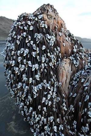 2016年12月,纽西兰海域出现的怪异物体,表面覆盖藤壺贝及海藻。