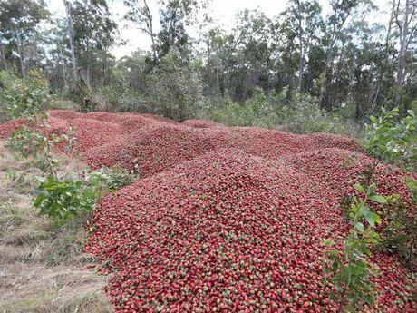农场倒掉数百万颗草莓。