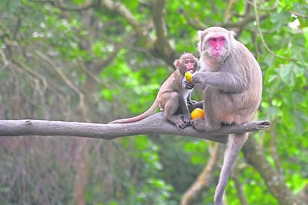 """""""林志玲""""匿藏在台湾台中的猕猴园里,更被封为""""猴后"""",被150只猕猴包围?"""
