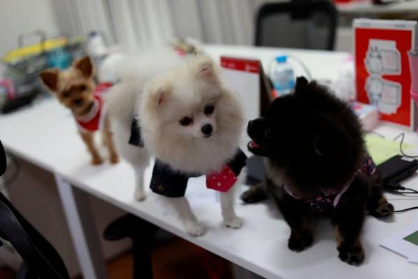 狗狗体验职场生活,与主人一起上班。
