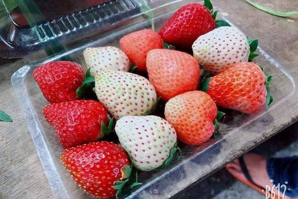 红草莓、白草莓、粉草莓,不论大人小孩都会有少女心爆发的感觉啊!