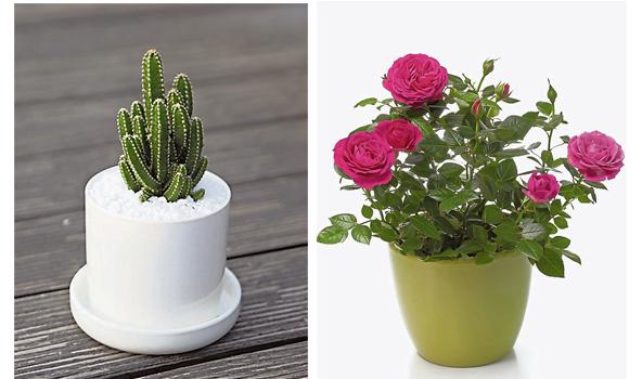 有带刺的植物最好不要种植在家,否则会影响居家磁场。