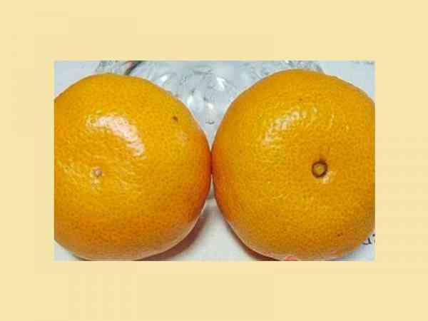 大家注意看图片中的两个柑,左边的为公柑,右边的是母柑。怎么区分呢,大家看柑的底部中心,母柑是一个圈,而公柑是一个点。