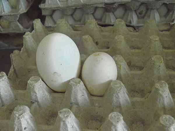 双蛋黄的鸭蛋比普通鸭蛋大一倍。