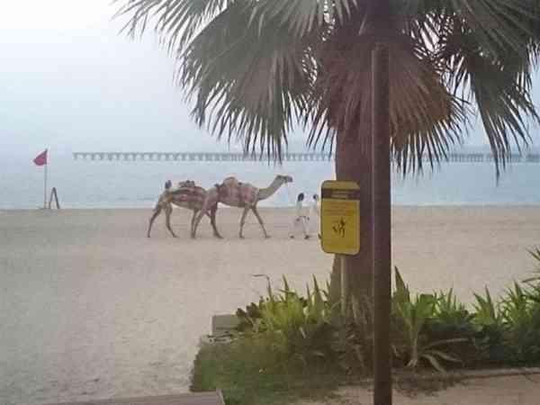 午后悠闲的时光,牵着骆驼漫步在海边。