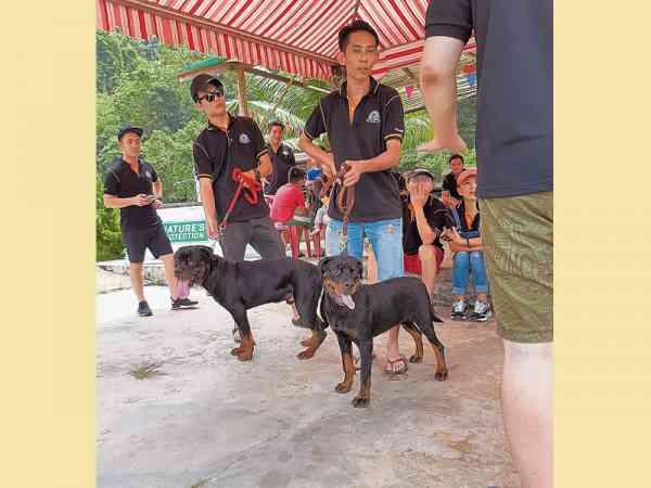 在旅行聚会中,穿插狗狗选美赛,让各狗主见识罗威纳犬的标准美态与身材之余,也进一步了解该犬的特点。