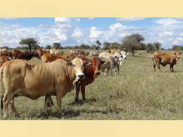"""牛、羊反刍动物的肠胃滋生大量细菌,排泄时会产生名为""""甲烷""""的温室气体,对环境的影响比二氧化碳更甚。"""