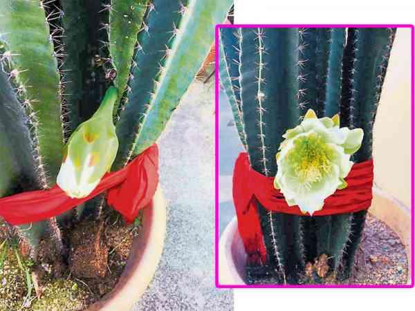 拾金迁坟后,当天种植在家中的其中一株仙人掌开出三朵白花。王道长更指出,白花在一天之内迅速花开花谢落土,代表三位先人已得到安息。