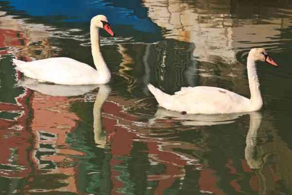 天鹅是布拉诺岛运河的常客。
