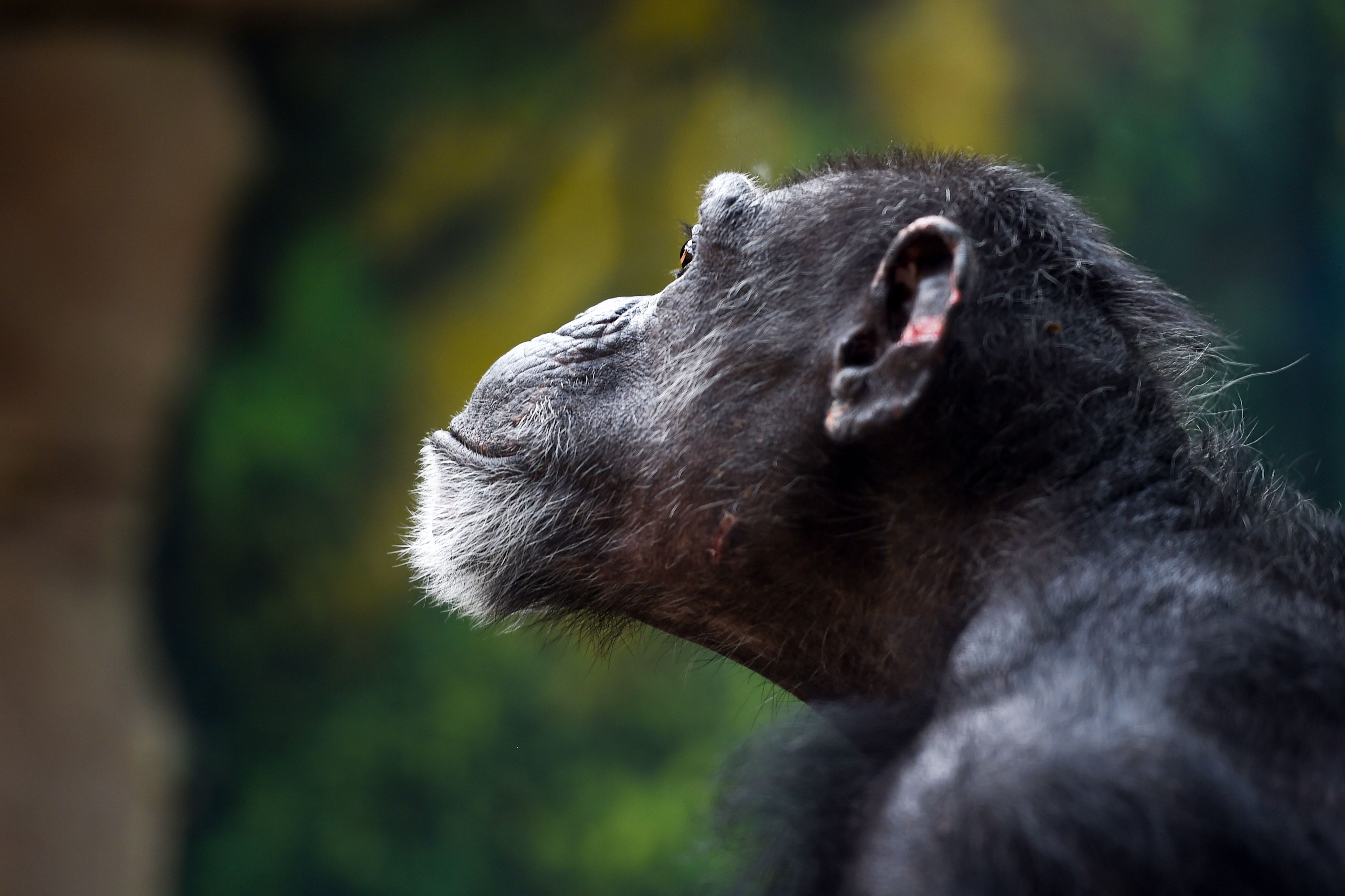 A chimpanzee looks on inside its enclosure on August 1, 2018 at The Beauval Zoo in Saint-Aignan-sur-Cher, central France. (Photo by GUILLAUME SOUVANT / AFP)        (Photo credit should read GUILLAUME SOUVANT/AFP/Getty Images)