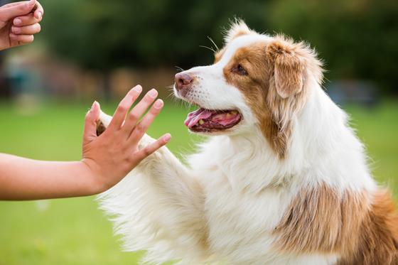 主人要和狗狗建立良好的信任感,通过主人自己的表达来让狗狗明白,学一些规矩是对它好的。