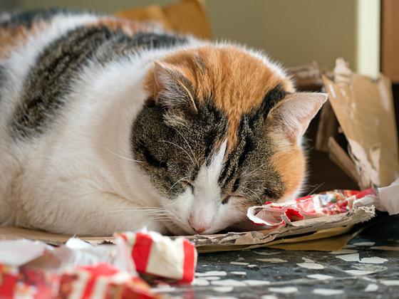 猫咪乱吃东西,可能把胶袋、纸巾都吃下肚,但又不能消化,结果引起呕吐。