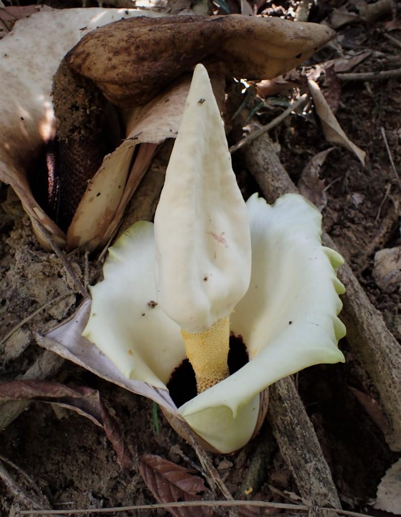 魔芋的花序。这是西马最常见的魔芋Amorphophallus prainii。