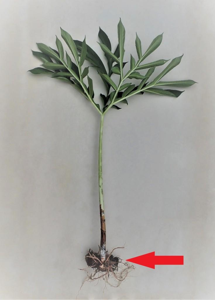魔芋的叶子看似雨伞,其叶柄基部的球状物就是其球茎(红色箭头)。