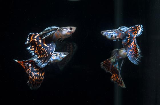 回到家有一群红马赛克孔雀鱼欢迎自己,能起到很好缓解心情的作用。