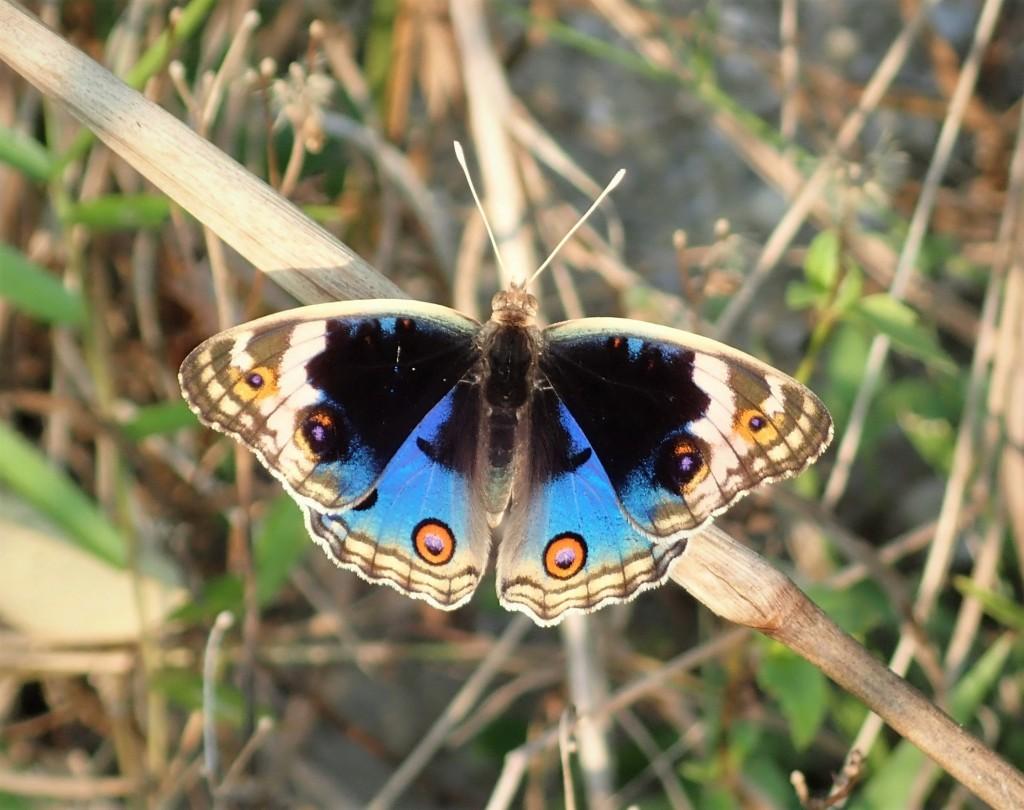 雄性翠蓝眼蛱蝶。