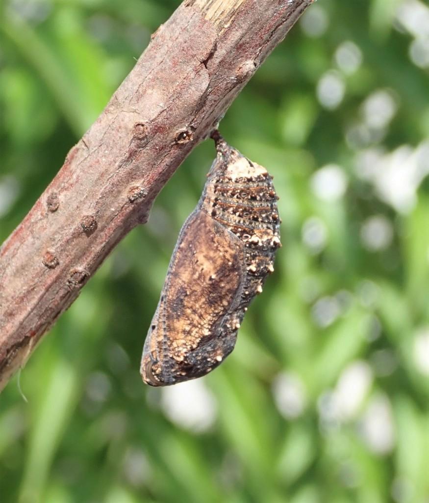 翠蓝眼蛱蝶的蛹。